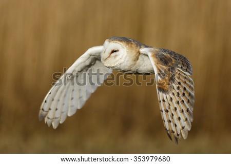 barn owl flying close up - stock photo