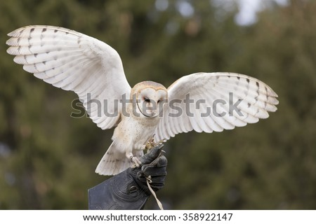Barn Owl Flying for falconer