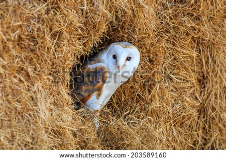 Barn owl hiding in a hay bale with blue sky reflected in its eyes - stock photo