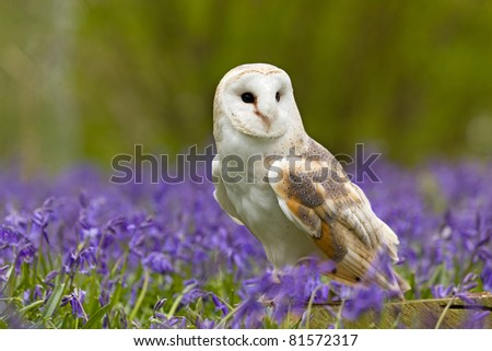 Barn Owl in a field of bluebells