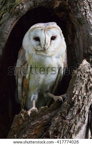 Barn Owl in a tree trunk. A lovely little barn owl has found a sheltered spot in a hole in a tree trunk. - stock photo
