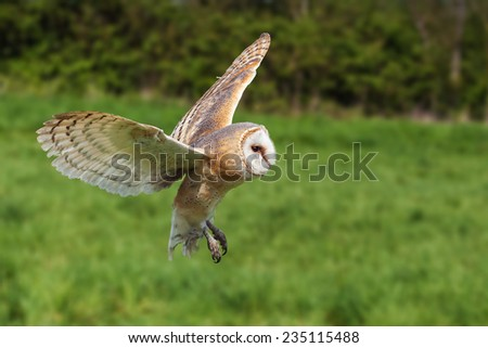 Barn owl in flight. A beautiful barn owl is seen flying across a field. - stock photo