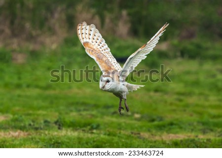 Barn owl in flight. A beautiful barn owl is seen flying over a field. - stock photo