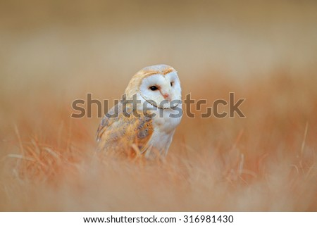 Barn Owl in light grass, clear foreground and background, Czech republic - stock photo