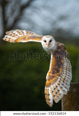 Barn owl in the country side flying - stock photo