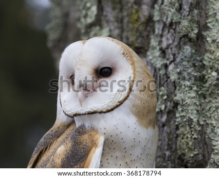 Barn Owl in tree - stock photo