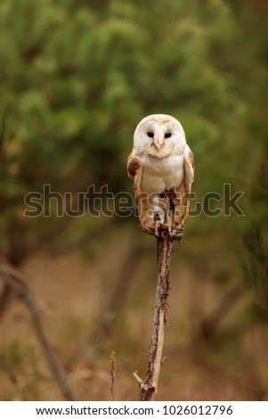stock-photo-barn-owl-is-sitting-on-a-thi