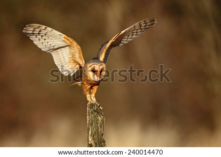 Barn owl landing with spread wings on tree stump at the evening - stock photo