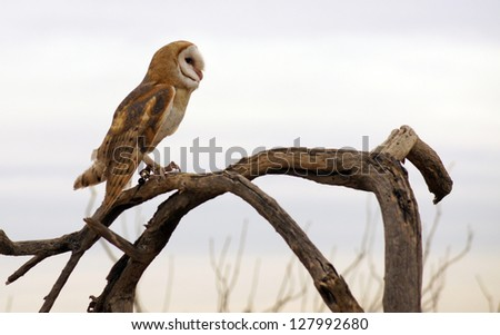 Barn owl on a dead branch with a light, cloudy background - stock photo