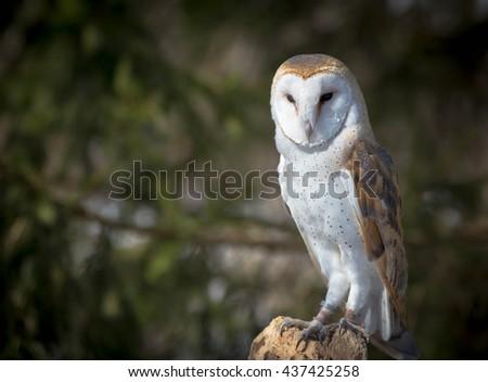 Barn Owl on a tree - stock photo