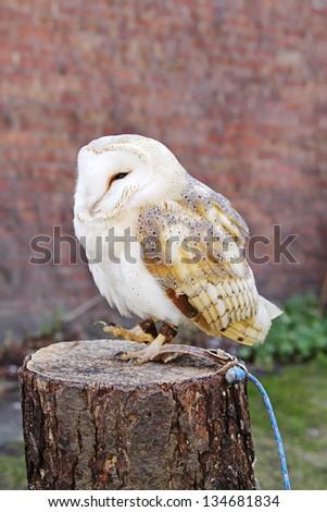 Barn Owl on post - stock photo