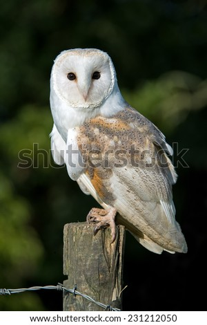 Barn Owl perched on Fence Post/Barn Owl/Barn Owl (tyto alba) - stock photo