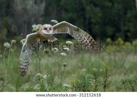 Barn Owl Perching - stock photo