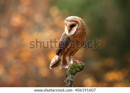 Barn Owl, photographed in the Czech Republic. A medium-sized species of owls. Found in Europe.