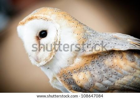 Barn Owl ready to fly - stock photo