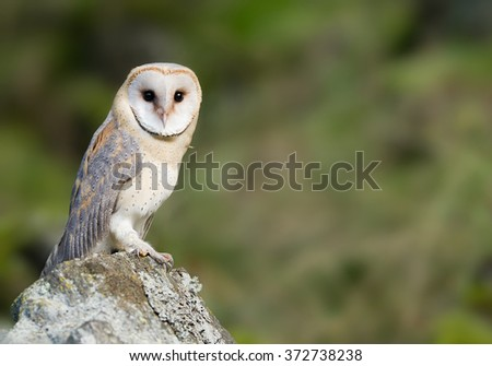 Barn owl sitting on the rock, looking at lens, clean green background, Czech Republic