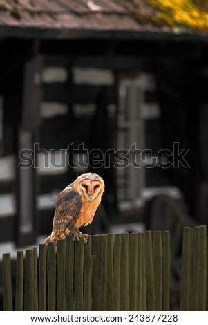 Barn owl sitting on wooden fence before country cottage, bird in habitat  - stock photo