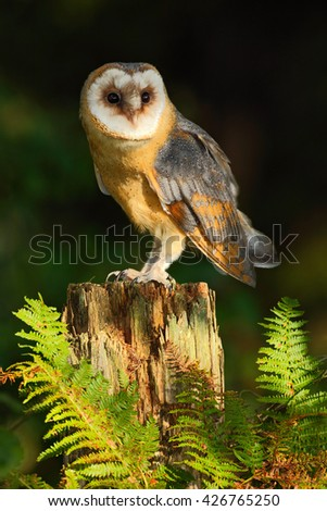 Barn owl, Tito alba, nice bird sitting on stone fence in forest cemetery with green fern, nice blurred light green the background, animal in the habitat, United Kingdom  - stock photo