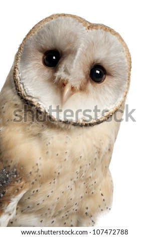Barn Owl, Tyto alba, 4 months old, portrait and close up against white background - stock photo