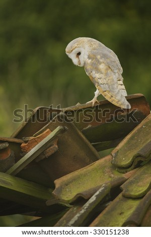 Barn Owl (Tyto alba) perched on derelict barn roof