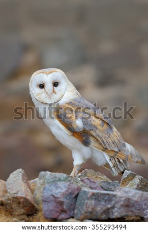 Barn owl,Tyto alba, sitting on stone wall, light bird in the old castle, animal in the urban habitat - stock photo