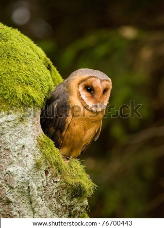 Barn owl (Tyto alba) sitting on the tree