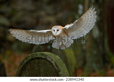 Barn owl with nice wings landing on headstone - stock photo