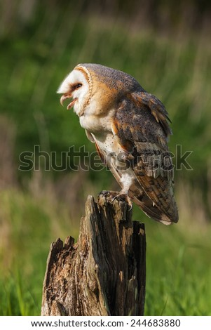 Barn owl with open beak. A beautiful barn owl opens her beak as she stands on a tree stump. - stock photo