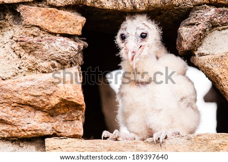 Barn Owl young bird eating little mouse - stock photo