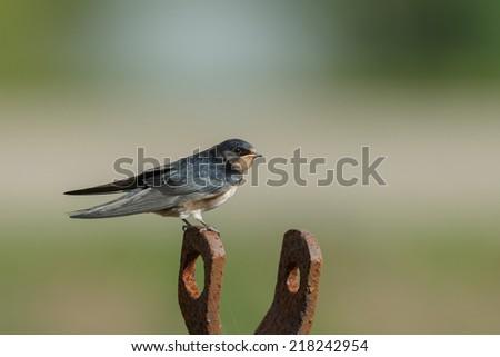 Barn swallow  - stock photo