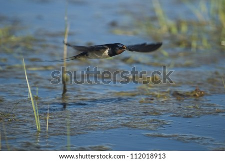 Barn swallow flying, close-up