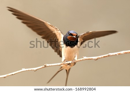 Barn swallow flying off over a twig - stock photo