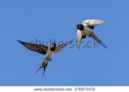 Barn swallow on the blue sky background  - stock photo