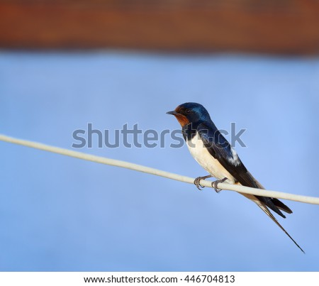 Barn swallow or European swallow (Hirundo rustica) sitting on the rope