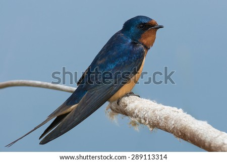 Barn Swallow perched on a dead cattail. - stock photo