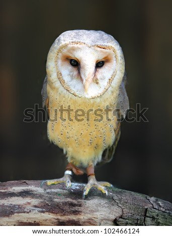 Barn - Tyto alba - owl posing on branch - stock photo