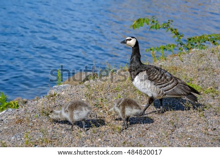 Barnacle Goose (Branta leucopsis) and gosling walking on a park embankment in center of Helsinki, Finland