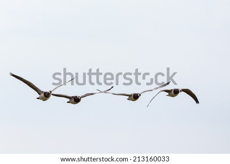 Barnacle goose flying in the sky