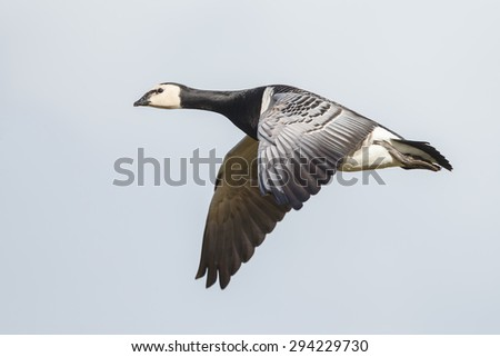 Barnacle Goose in flight - stock photo