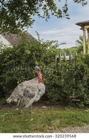 Barnyard tom turkey walking around - stock photo