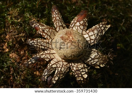 Barometer earthstar, astraeus hygrometricus  fungi on the green moss - stock photo