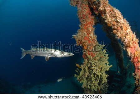 Barracuda and coral growth on the Spiegel Grove - stock photo