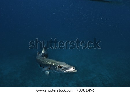 Barracuda coming in for lunch at the RMS Rhone in the British Virgin Islands. - stock photo