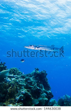 barracuda from the caribbean reefs - stock photo