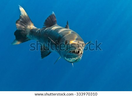 Barracuda in The Indian Ocean, Maldives - stock photo