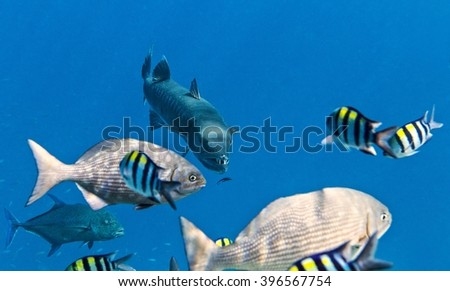 Barracuda is hunting  in The Indian Ocean, Maldives - stock photo