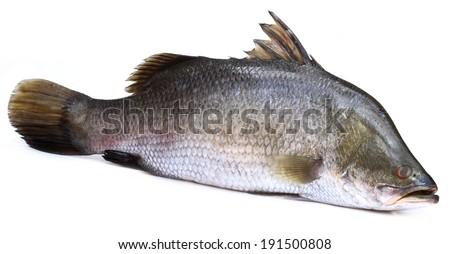 Barramundi or Koral fish of Southeast Asia over white background - stock photo
