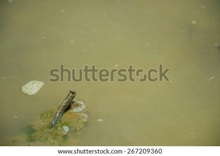 Barred Mud Skipper-Periophthalmus argentilineatus, Okinawa Prefecture/Japan, 2013/6/19.  - stock photo