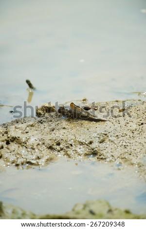 Barred Mud Skipper-Periophthalmus argentilineatus, Okinawa Prefecture/Japan, 2013/6/19. soft focus  - stock photo