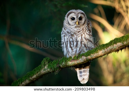 Barred Owl perched in the forest - stock photo